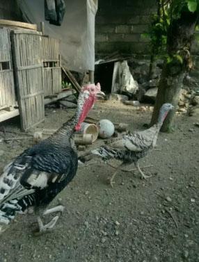Ayam kalkun sepasang