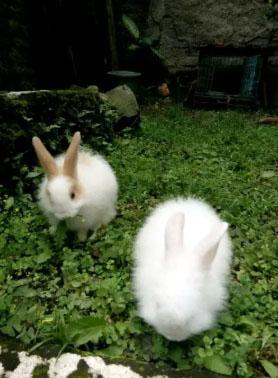 Kelinci jenis topeng anggora