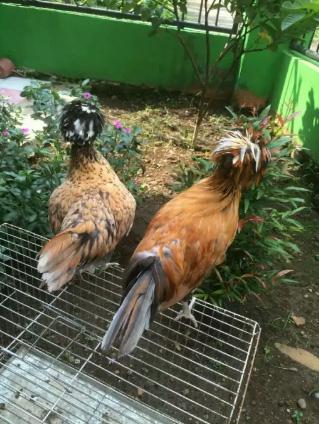 Ayam polan, ayam poland, ayam jambul dan ayam hias