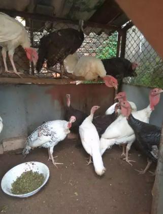 Ayam kalkun anak -induk plaju palembang