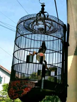 Dijual cepat Burung Anis Punglor Kembang Istimewah