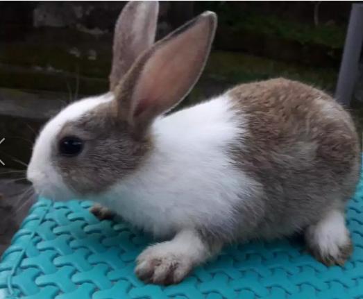 Jual anakan kelinci umur 2 bulan