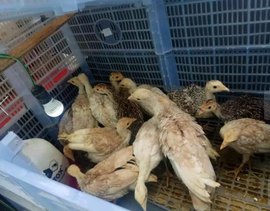 Ayam kalkun 1.5 Bulan
