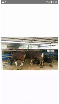 Ternak sapi rakyat