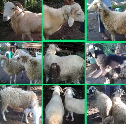 Jual Domba/Kambing Aqiqah & Hajatan