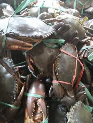Kepiting Papua Padat