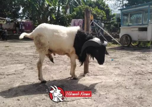 Aqiqah Domba dan Kambing Siap Saji Hikmah Rama Bandung