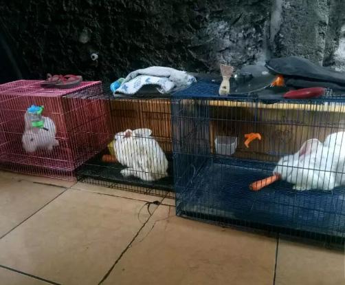 Kelinci putih New Zealand 3 ekor (1 jantan, 2 betina)