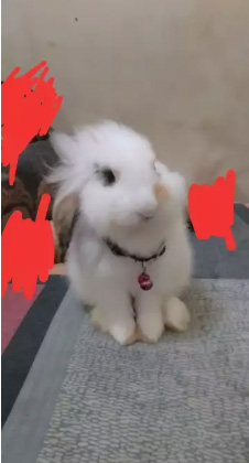 Kelinci fuzzylop betina 4bulan