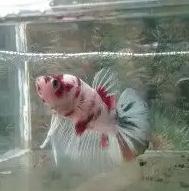 Ikan cupang pency