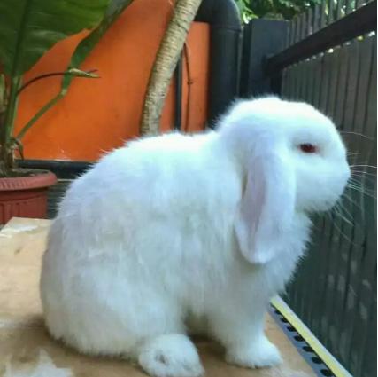 Sepasang Kelinci Holland Lop / Holand Lop / HL Fullset Kandang