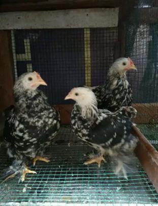 Ayam bantam cochin 3 ekor jantan semua umur 4 bulanan