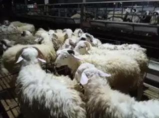 Kambing domba untuk akikah aqiqah jogja bayi lahiran promo puasa
