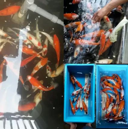 Ikan Koi Besar Terjangkau Delapan Puluh Ribu an Bebas Milih Warna