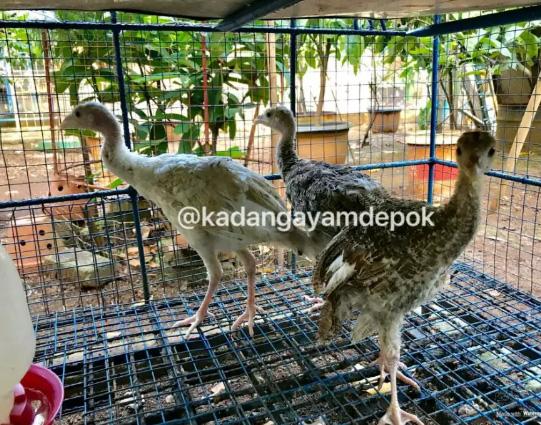 Ayam kalkun 2-3 bulan