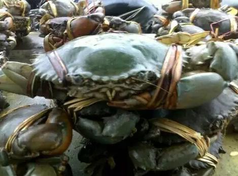 Jual kepiting tambak hidup