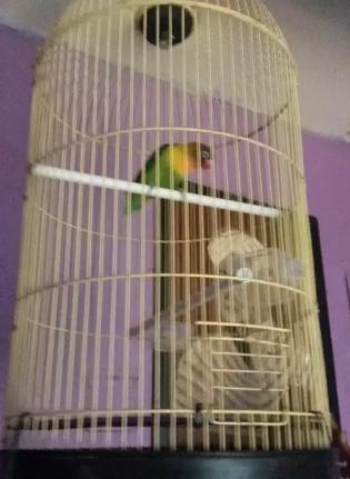 Burung lovebrid Uda rajin