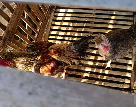 Indukan Ayam Birma Ori Kaki Ijo Kuku Item Borongan 3 Betina 1 Jantan