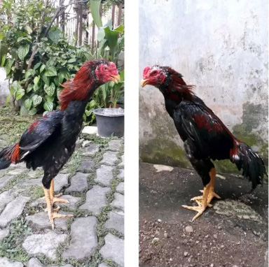 2 ekor ayam bangkok muda