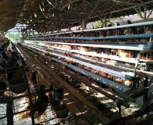 Dicari cepat pekerja kandang ayam petelur yang sudah berkeluarga