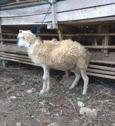 Kambing atau domba jantan untuk aqiqah