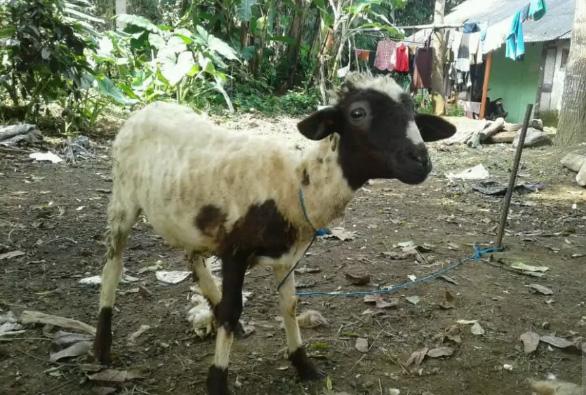 Kambing/domba betina