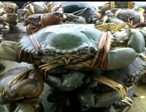 Kepiting tambak segar