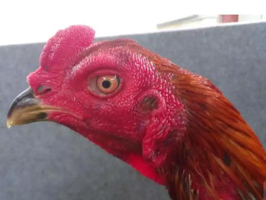 Ayam petarung trah khoytrad 11