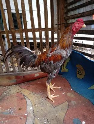 Ayam mangon ukuran 5,5 umur 7 bulan ayam bahan