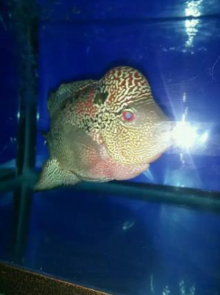 Jual Ikan Louhan Cenchu size 5Jari Murmer