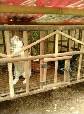 sepasang kelinci umur 6 bulan jenis rex