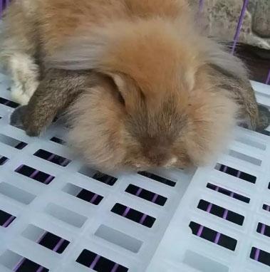 kelinci jantan jenis holland lop usia 4 bulan