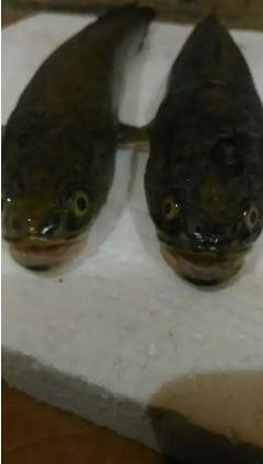 Ikan Gabus / bogo hidup n ikan Subang, laukpulen