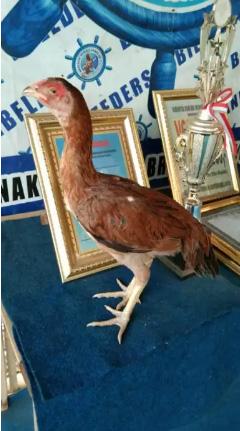Ayam betina pamagon masih perawan
