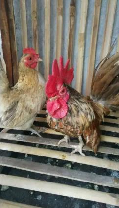 Ayam kate blasteran serama