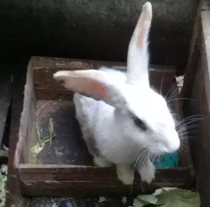 Kelinci betina 18bln