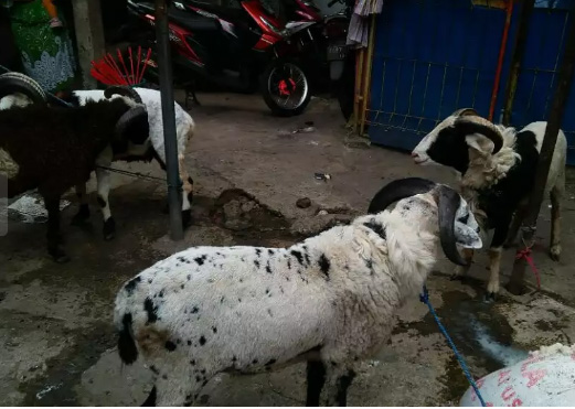 Rizalshop domba online