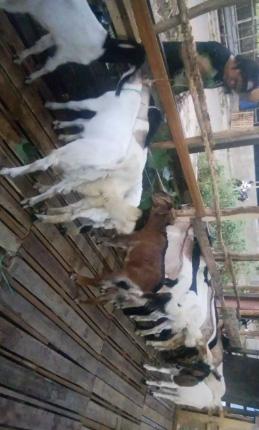 UD. BERKAT SAUDARA .Spesialis bibit kambing dan sapi