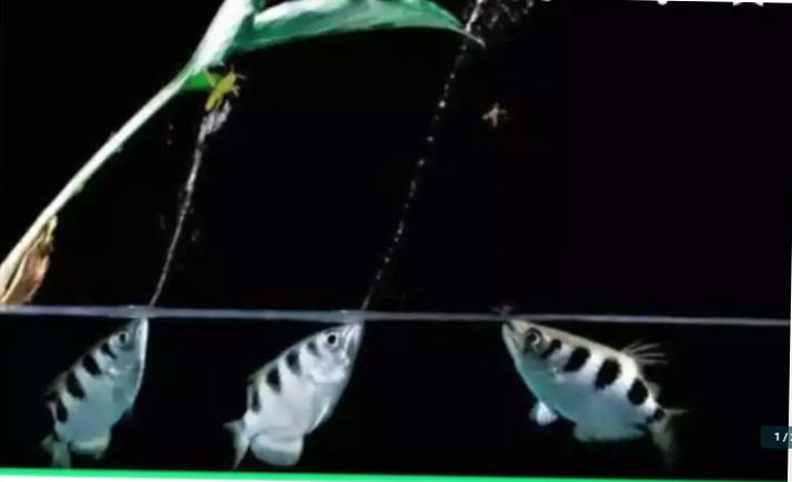 jual ikan archer fish / ikan sumpit