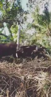 Jual sapi kupang/Bali borongan ada 11 ekor
