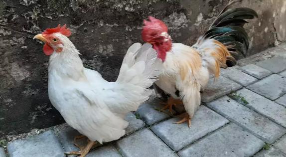 Sepasang: Ayam Jepang & Ayam Kate sudah bertelu