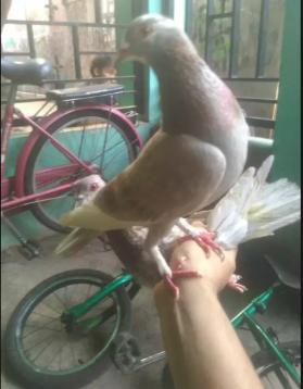 Burung Dara/Merpati Semi Jembros Giring Keras