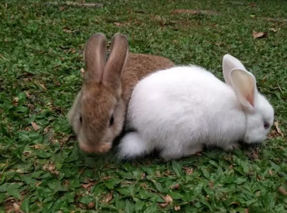 Sepasang kelinci