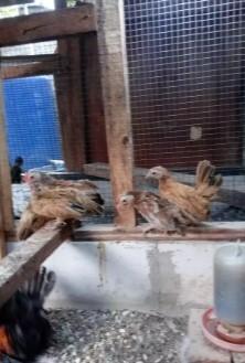 Ayam tema remaja