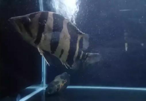 Ikan datz borneo