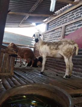 Kambing domba garut/ gibas