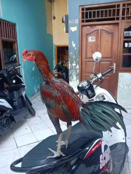 Ayam bangkok jenis MAGON ukuran 5 umur 5 bulan
