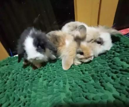 Kelinci Fuzzy Loop sapihan 2bulan