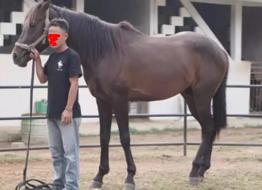 Kuda Jantan Besar G4
