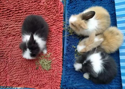 Kelinci fuzzy lop pure breed